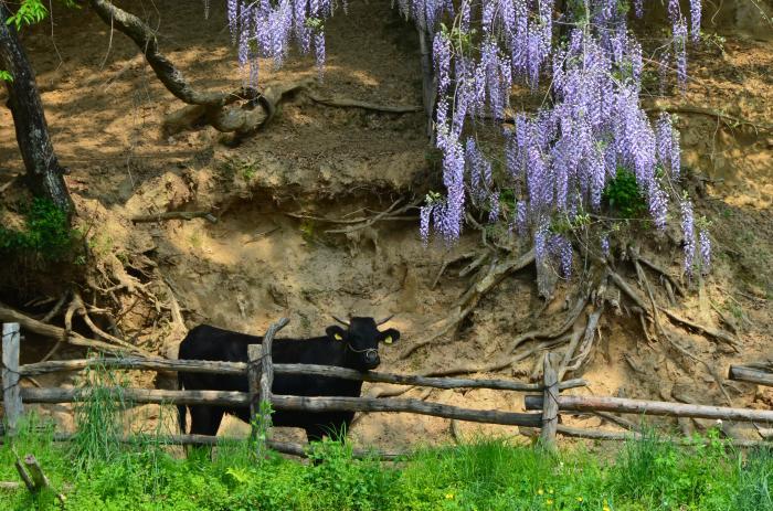 藤の花と鮫川牛