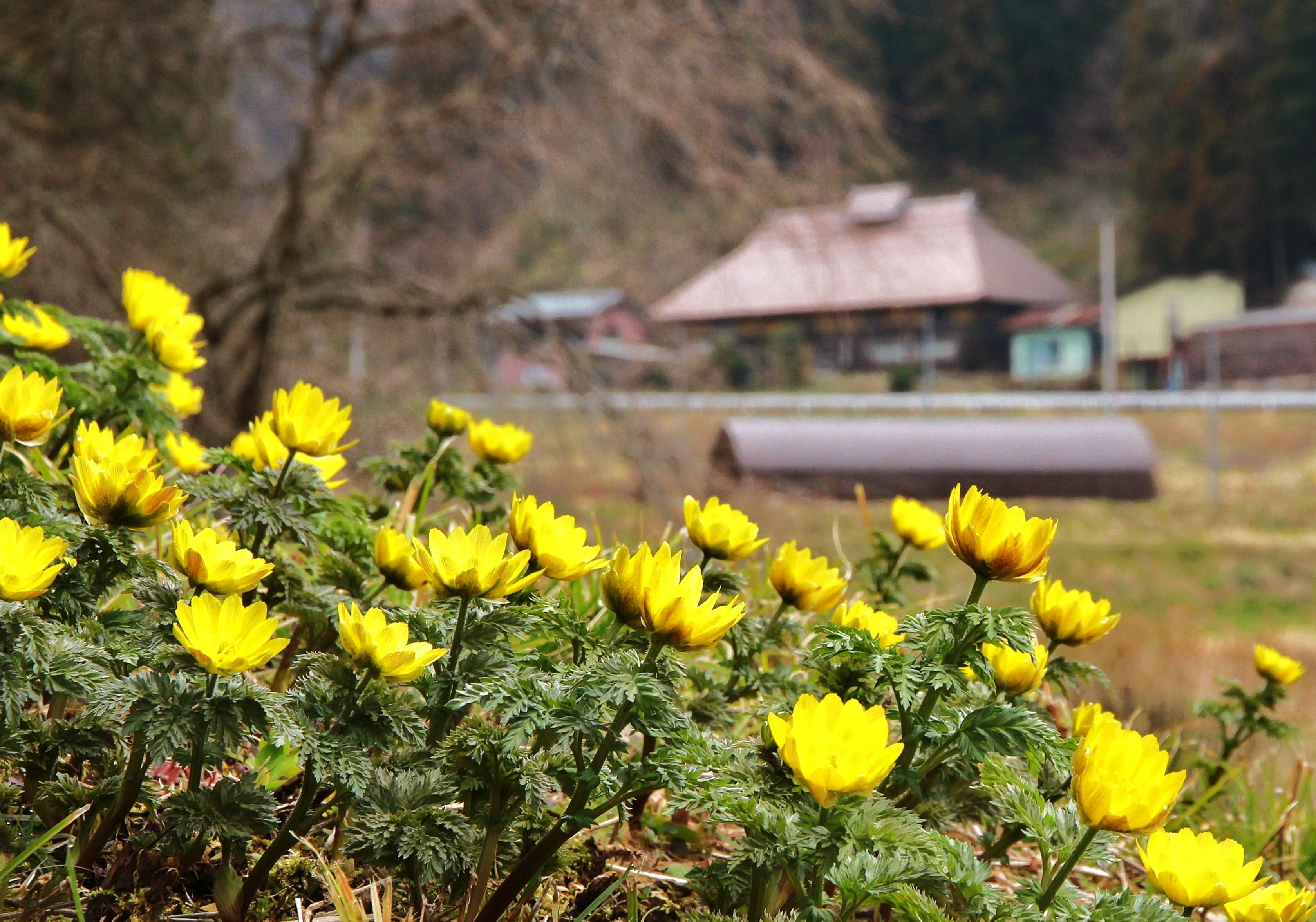 『福寿草の咲く里』の画像