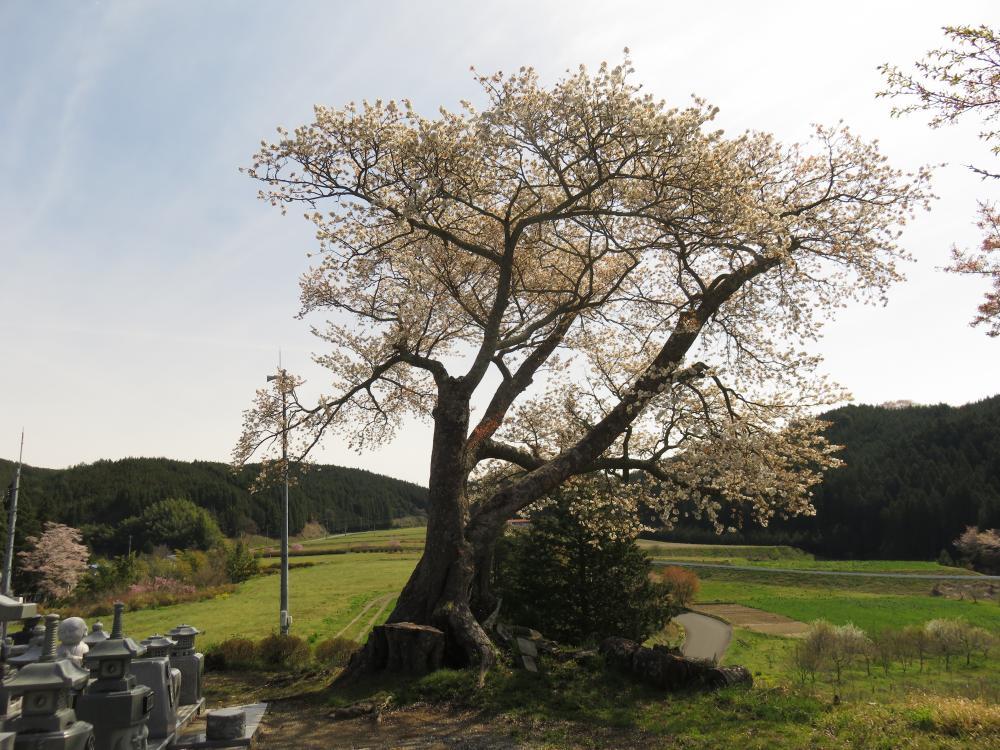 『江竜田の種蒔き桜H28.4.20』の画像