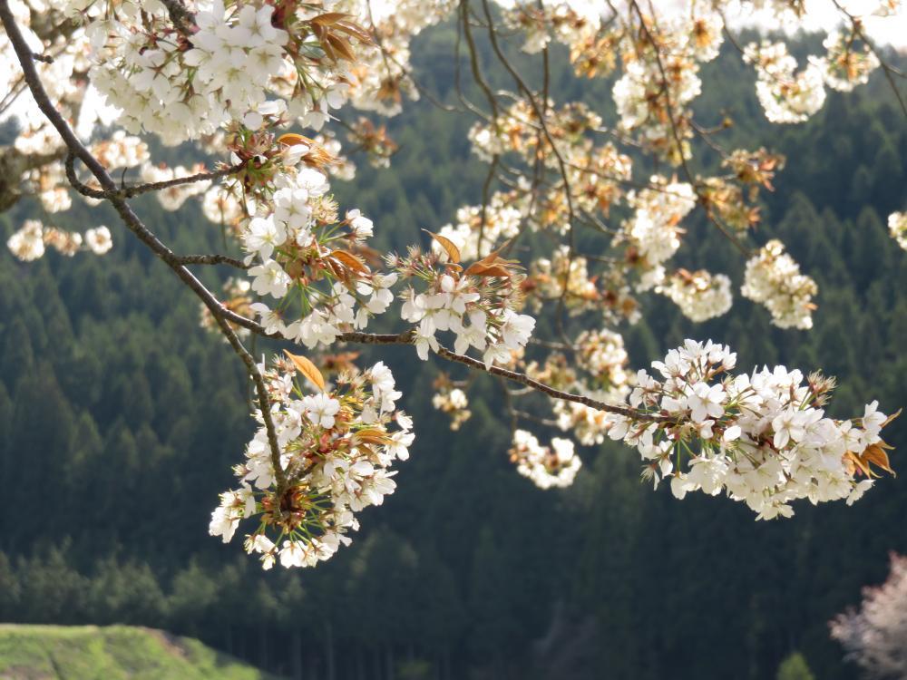 『江竜田の種蒔き桜H28.4.20-2』の画像