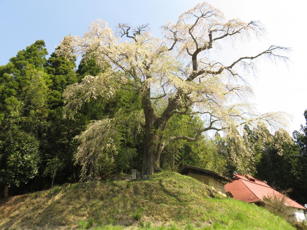 『『火打石のしだれ桜H28.4.20』の画像』の画像