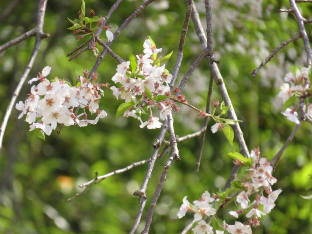 『火打石のしだれ桜H28.4.20-2』の画像