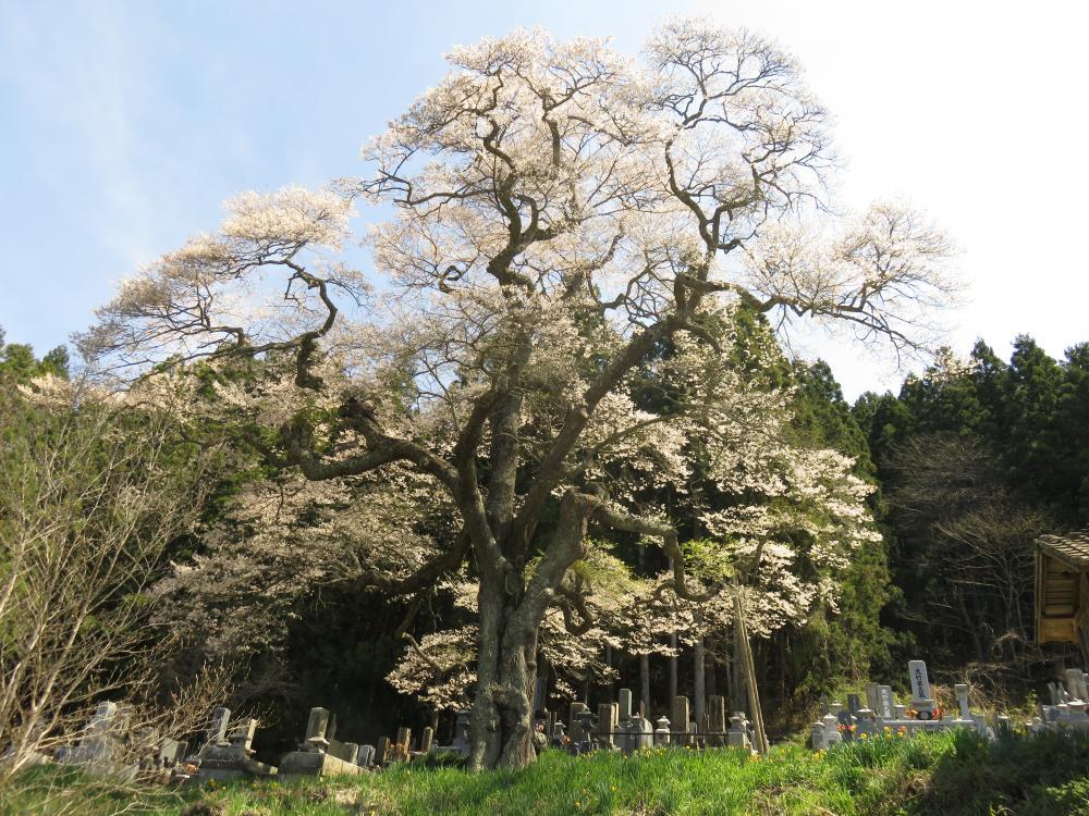 『二段田のひがん桜H28.4.20』の画像