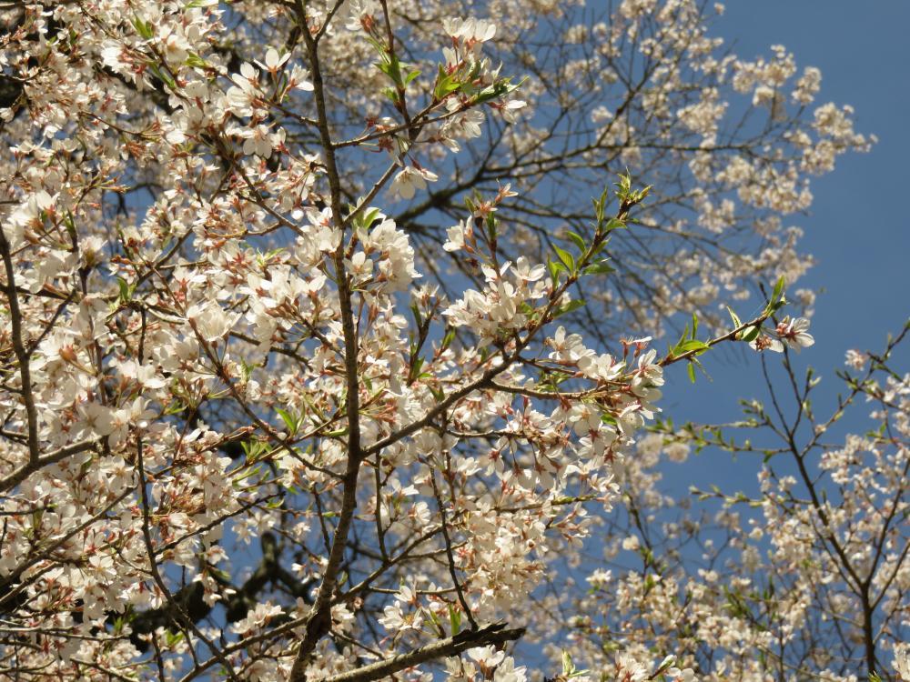 『二段田のひがん桜H28.4.20-2』の画像