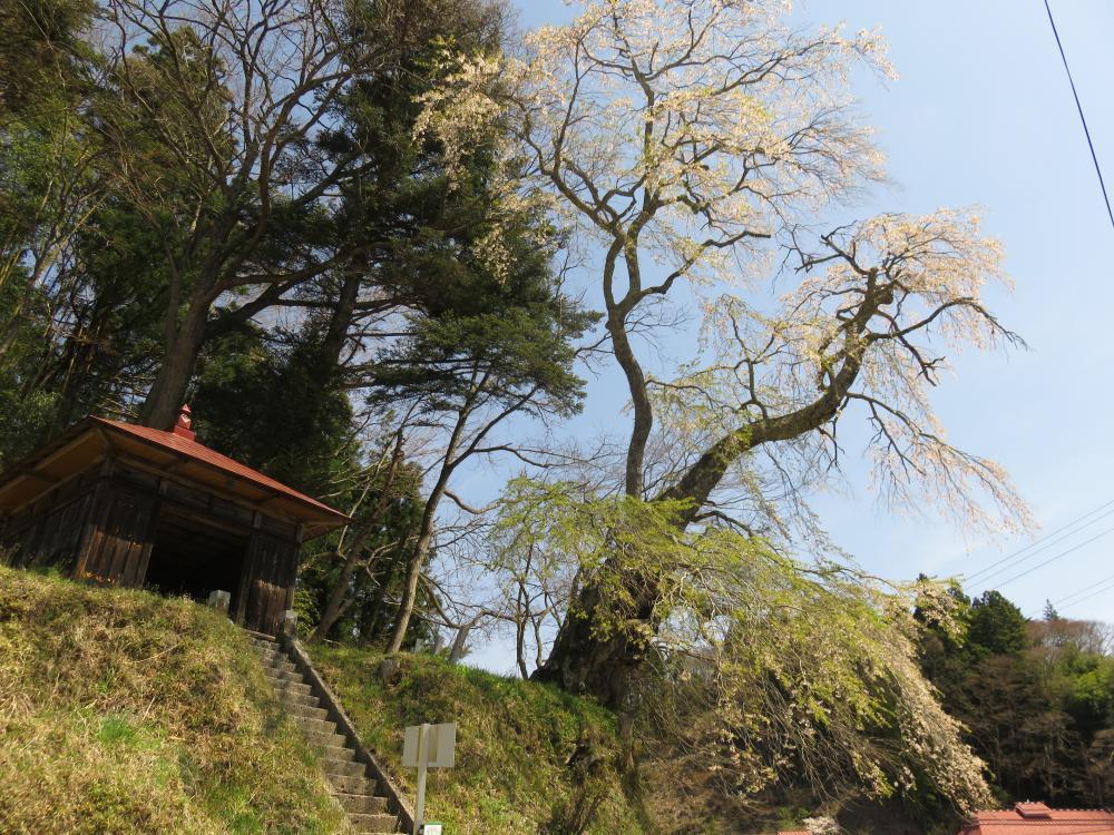 『官沢のしだれ桜H28.4.20』の画像