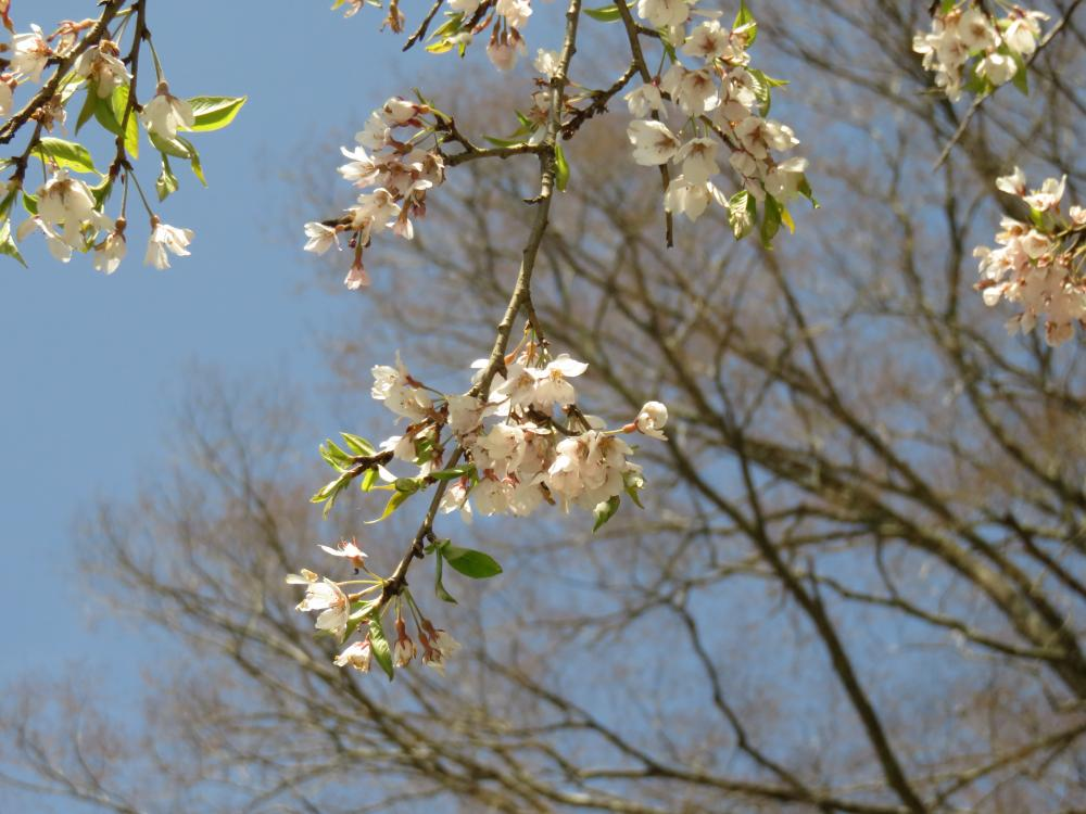 『官沢のしだれ桜H28.4.20-2』の画像