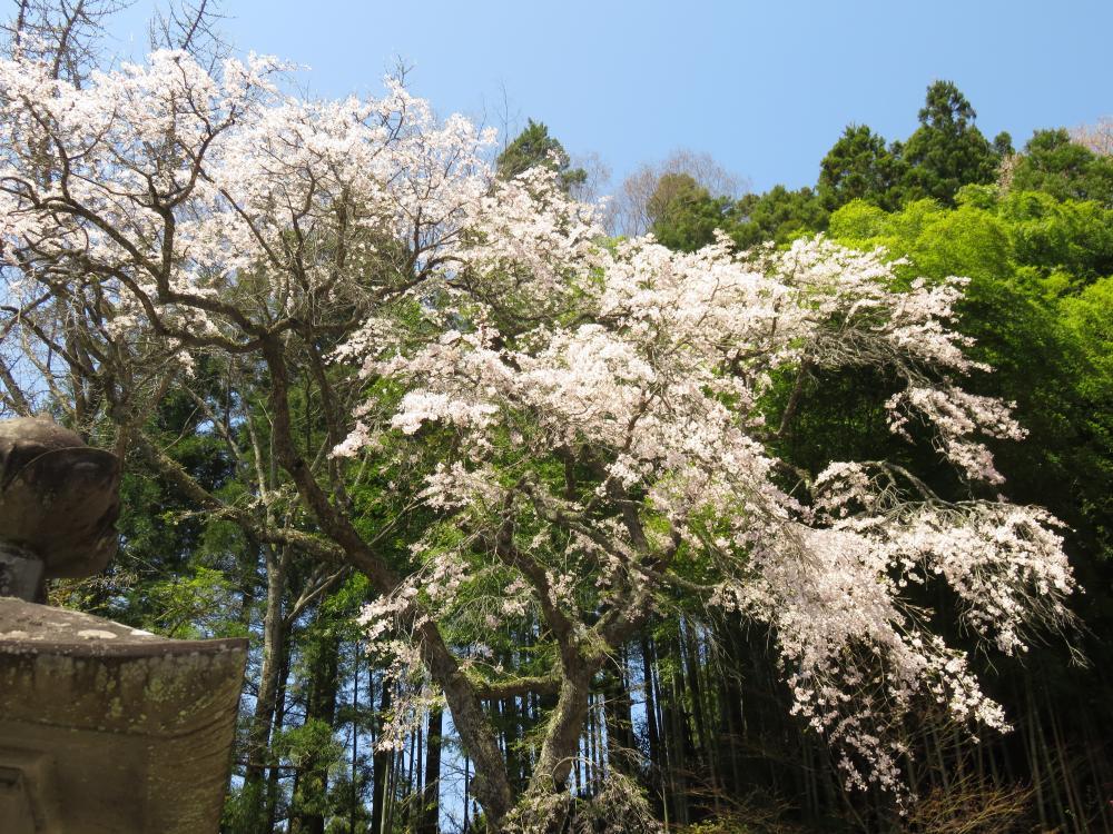 『長遠寺のしだれ桜H28.4.20』の画像