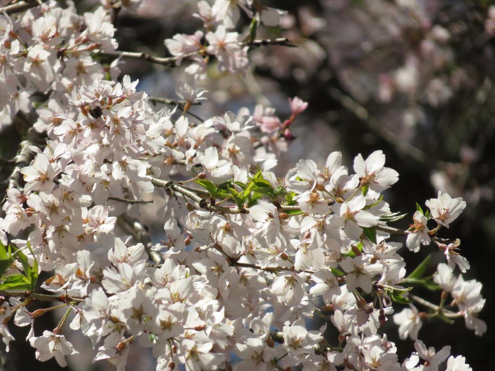 『長遠寺のしだれ桜H28.4.20-2』の画像