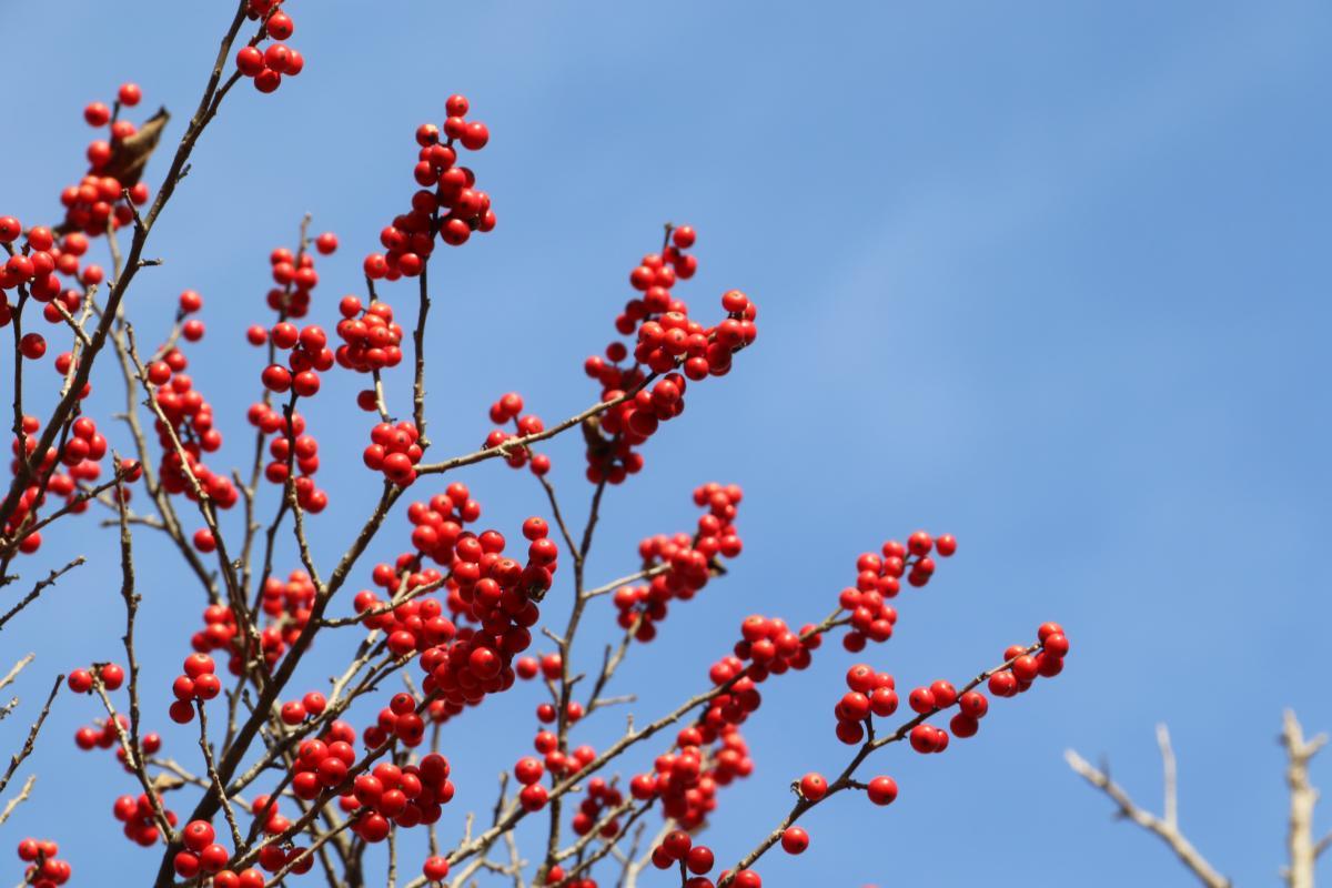 『舘山に真っ赤な実』の写真