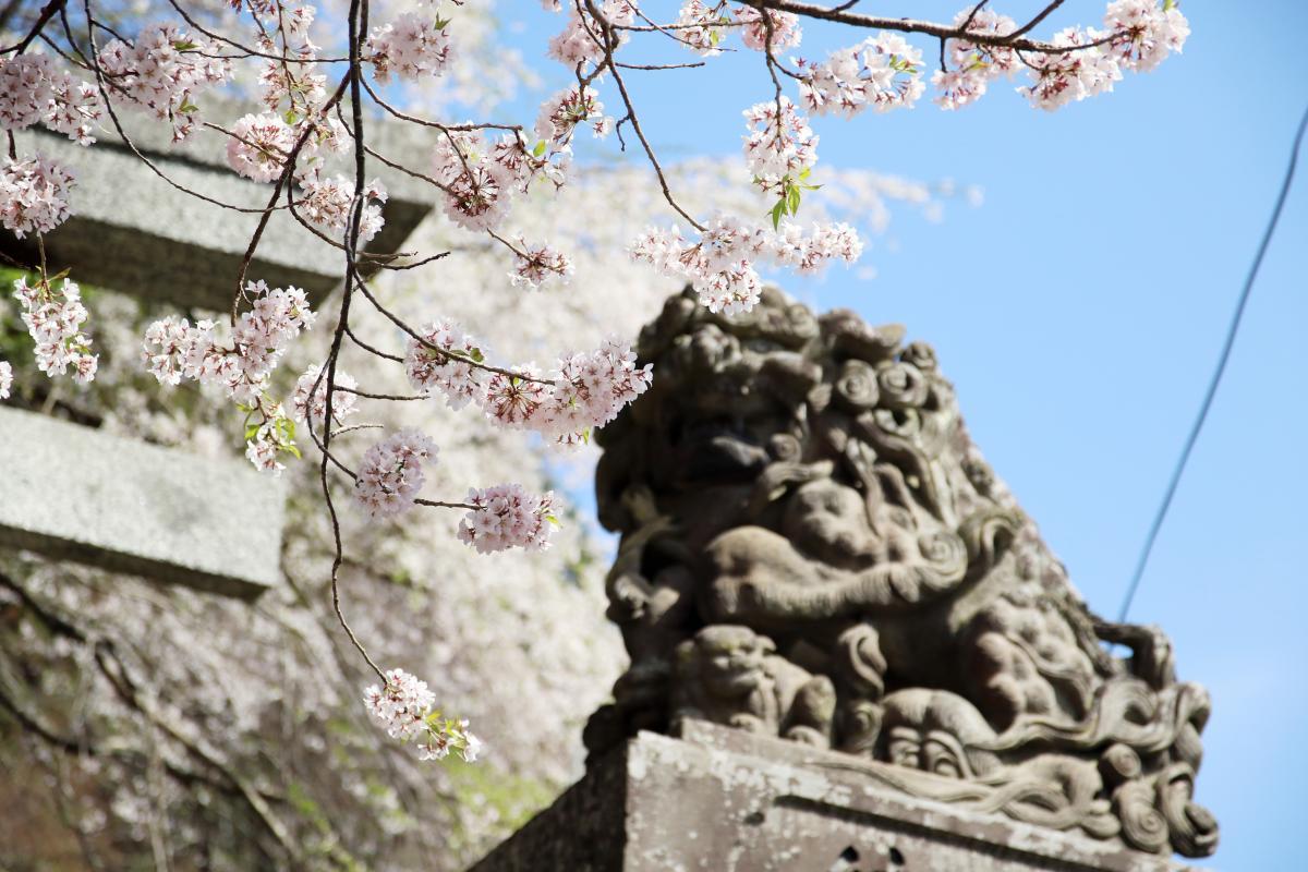 『満開の桜』の写真