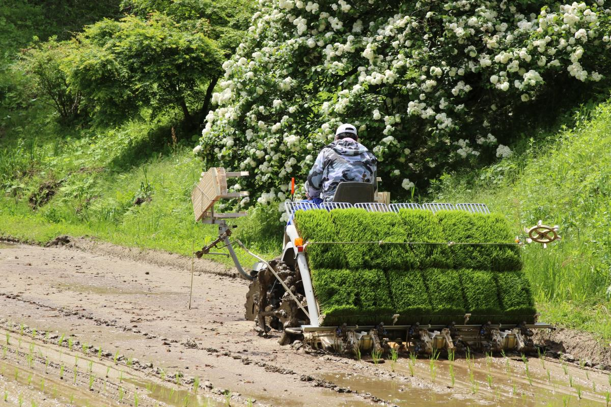 『東京農大の圃場で田植えが行われました。』の写真
